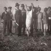 Cold weather hog butchering