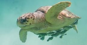 Loggerhead Sea Turtles in Myrtle Beach